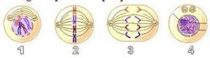 soal 1 pembelahan sel